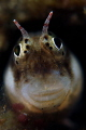 Blenny