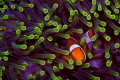 False Clownfish and anemone