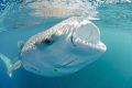 A rather unusual looking whaleshark as a result of the distortion from the fish eye lens.