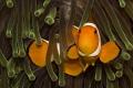 Nice clownfish