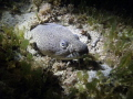 2/202012 Night Dive: Spotted Snake Eel hidding in the sand at Crash Boat, depth 34 feet.