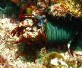 Mantis shrimp ready to take me on!