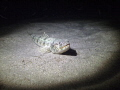 2/202012 Night Dive: Sand Diver in business as usual, depth 28 feet.
