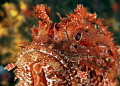 Scorpaena scrofa, a specimen of scorpion fish, picture taken with 50mm sigma macro lens, canon 350d, two strobes Ikelite DS125, day time.