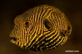 Juvenile Pufferfish