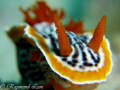 Chromodoris strigata posting =)