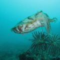 I took this pic at lembeh straits, and a cuttlefish swims trought me and look it mouth.. what interesting this is he just eat a baby rays