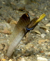 Blue throat Pike Blenny