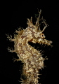 ornate frilled seahorse