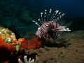 Lion Fish steady searching some food