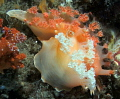 pair of mating Apricot Nudibranchs