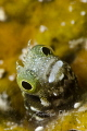 Secretary Blenny 1/250 f/25