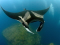 Beautiful manta at 