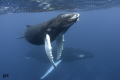 a magical experience with the Humpbacks at the Silver Banks...