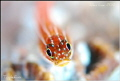 Triplefin.NikonD80,105mmVR.