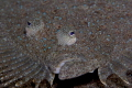 Leopard flounder