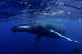 humpback male swim-by...