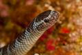 Banded sea snake on the hunt