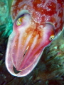 Inquisitive Cuttlefish.