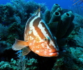Nassau Grouper ..curious..f8, 1/125sec, iso200, 18mm focal length, flash ds160 feathered