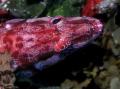 Painted Comber (Serranus cabrilla)