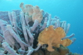 Two Frog Fish on Sponges