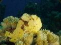 Clown frogfish fishing.