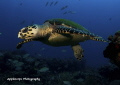 Young Hawksbill Turtle