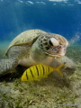 Green turtle @ Naama bay