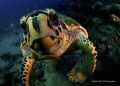 Hawksbill Turtle Checking It's