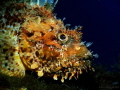 Nice Sized Scorpion Fish