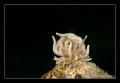 Mimic Nudibranch