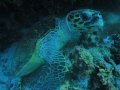my first trip to the red sea using my fantasea big eye lens and my first turtle