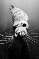 Harbour seal in Black & White