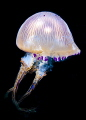 A beautiful jellyfish in Andaman sea. Canon 5d wide angle 20 mm. Strobe lit