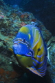 Blue-ringed Angelfish. Gulf of Thailand, Nikon D60, 55mm lens, Inon strobe