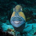 I love this fellow. Just look at his teeth, and the botox lips. Not to mention his Marty Feldman looking eyes. I was lucky, because this trigger fish usually moving away quick when you approach them.