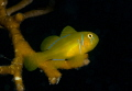 Lemon goby