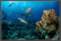 Stone Coral with Sharks