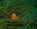 clownfish d7000, 100mm, f10