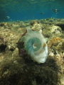 shell of a cone snail whilst snorkling,