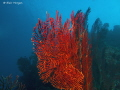 Red Gorgonian Fan Coral, Caesar's Rock, Beqa Lagoon, Fiji Islands