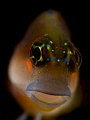 Blenny Portrait