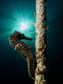 red sea horse