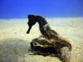 I have alway been looking to take pics of Seahorses but when I didn't take my camera I would see them all over the dive site and when I took the camera I couldn't find one, this time I was lucky at 7:00 am, I was the only diver in the water.