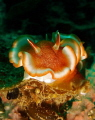 red-margined glossodoris