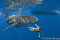 Friendly whale shark swims circles around the boat during surface interval. All had a great time swimming with the little guy.