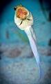 Yellowhead Jawfish - Grand Cayman Nikon 7000, 105 lens, f22, 1/320, ISO 200, twin inon 240's