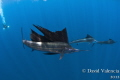These were sailfish finishing a baitball and moving to another. We kept having to jump into the boat, find them, and jump in again. They would attack the bait for awhile, but would move on. One of my friends jumped in with scuba for a different look.
