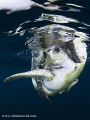 Sea Turtles mating, found in open ocean 5 miles off the coast.